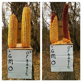 Image of corn cobs eaten by squirrels.